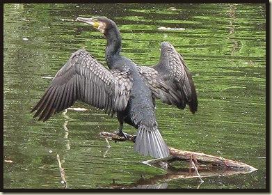 0810cormorant