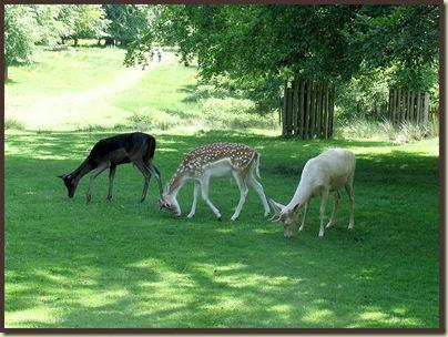 Fallow deer at Dunham Massey
