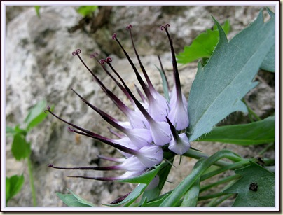 Devil's Claw (Physoplexis comosa