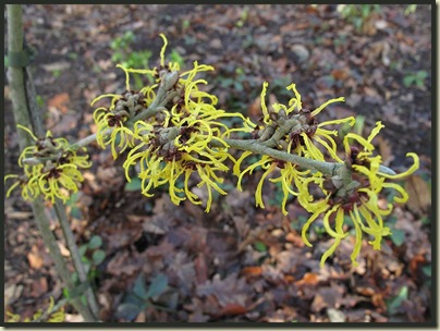 Witch Hazel (Hamemelis intermedia)