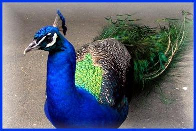 P - peacock