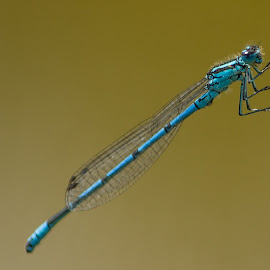 Blue Damselfly by Tracey Dolan - Animals Insects & Spiders