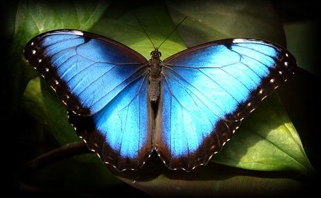 Déjame que te cuente: Mariposas azules (Morpho)