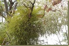 Mistletoe (2)