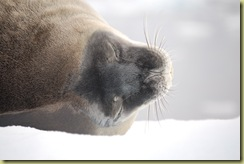 Weddell Seal Head