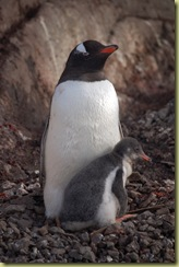 Yet another Gentoo and Chick