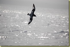 Cape Painted Petrel