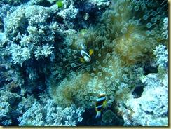 Nemo in Anenome