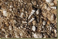 Fossil Shells in Sandstone at Kuramba