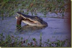 Croc eats prey