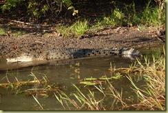3 metre crocodile