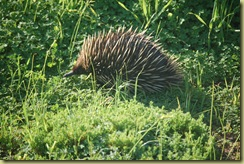 Echidna on the move