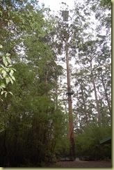 Centenial Tree