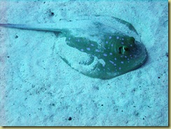 Blue Spotted Ray 1