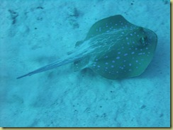 Blue Spotted Ray 2