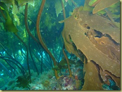 Kelp at trunk level