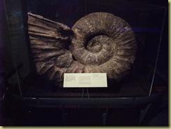 Large Amenoite