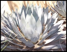 Agave...make Tequila from this..