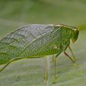 Costa Rican angle-wing katydid