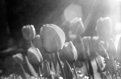The-Tulips---Film