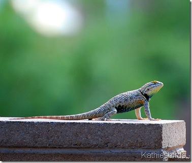 6.desert spiny lizard