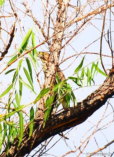 4. green heron juv.