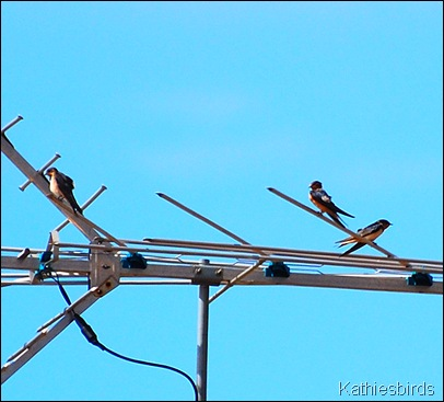 7. barn swallows-kathie