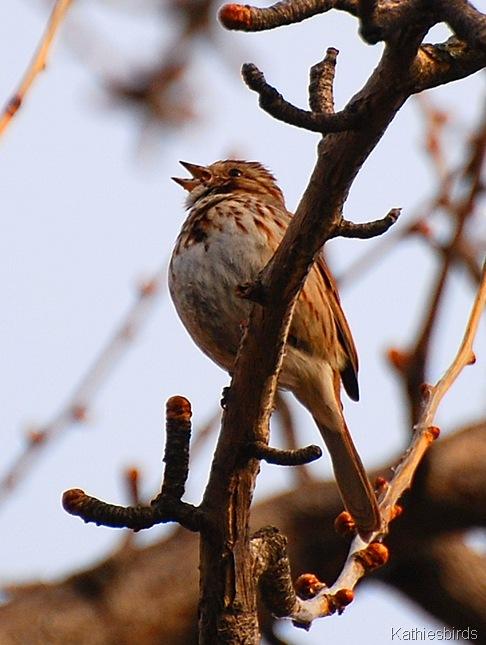 2. Song Sparrow kathiesbirds