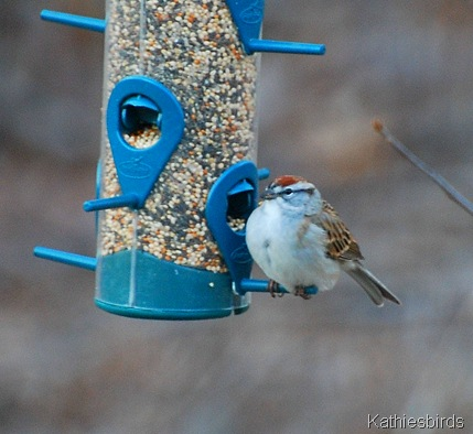 3. chipping sparrow_kathie