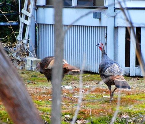 4. turkeys 4-4-11 k
