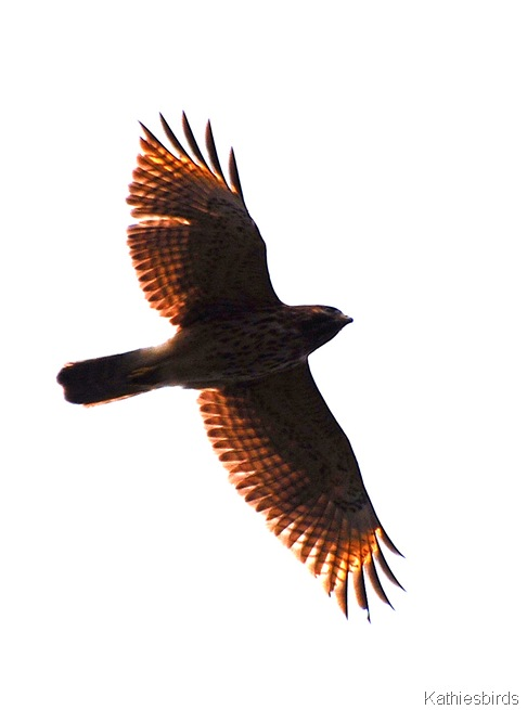 4. RSHA_kathiesbirds