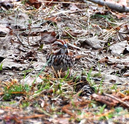 3. Song sparrow_kathiesbirds