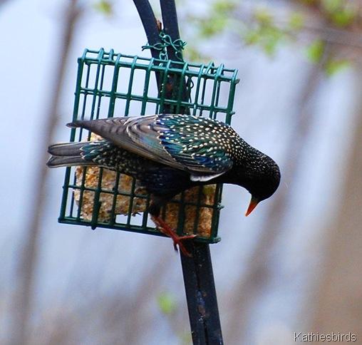 12. starling-kab