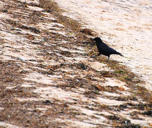 12. crow-kab