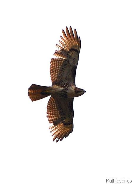 33. overhead hawk-kab