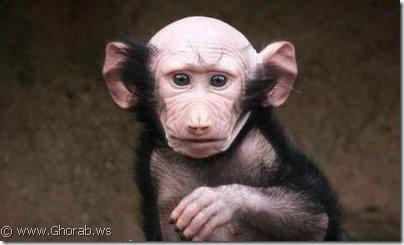 القرد الأصلع Bald Monkey