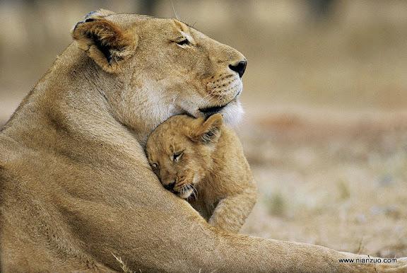 猛兽母子情 看着狮子母子温馨的相偎在一起,你会忘了它可以一口咬下你的脑袋。,狮子