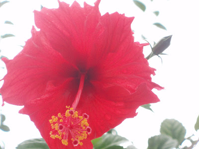 Hibiscus-The national flower of Malaysia