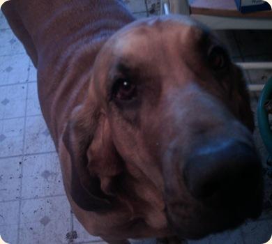 Trixie da bloodhound
