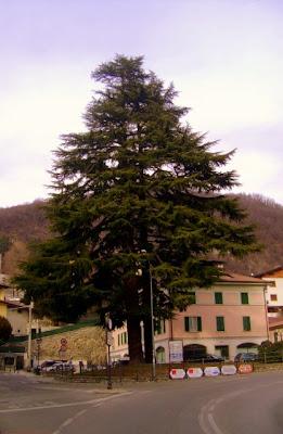 cedri del Libano
