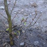 24. april - Så springer den nyplantede bøg ud - jubii!!