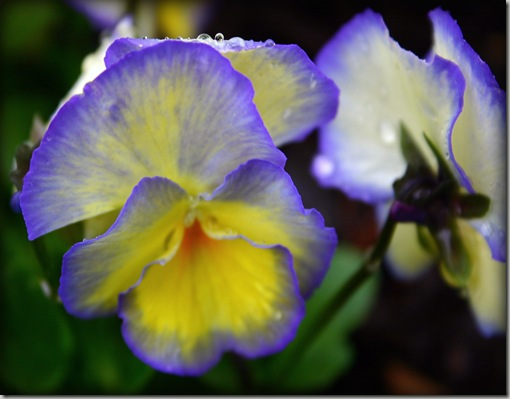 droopyviola