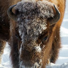 Ready to Go-Bison by Lloyd Alexander - Animals Other Mammals ( wild, buffalo, yellowstone, free, lloyd alexander, nature, bison, wildlife, horn, natural, large, mammal )