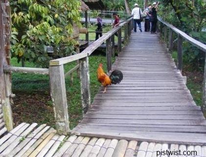 cv chicken