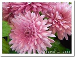 tn_2010-05-19 Mums (2)