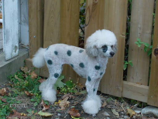 Dalmatian Poodle Mix Dalmation/poodle (my first try