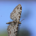 Brown-shaded Gray Moth