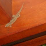 ...diese Geckos!