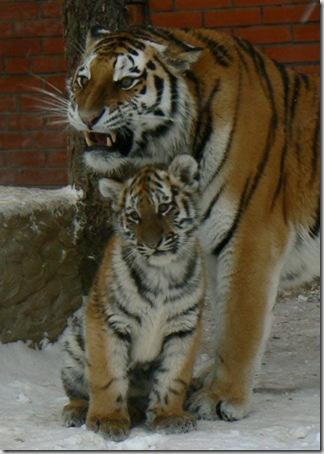 akiranuse tigres