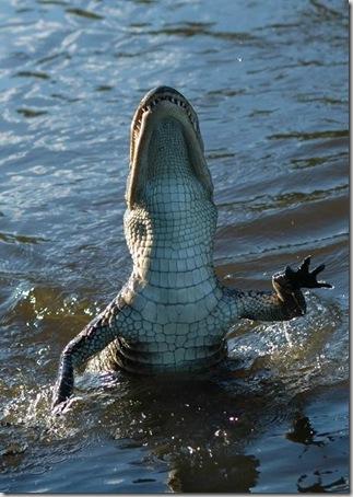 b akiranuse cocodrilo